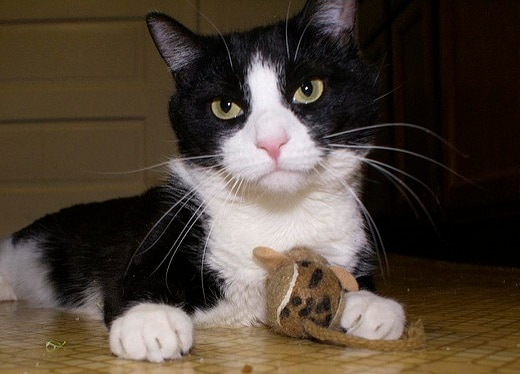 Black and white cat with a stuff mouse toy between its paws.