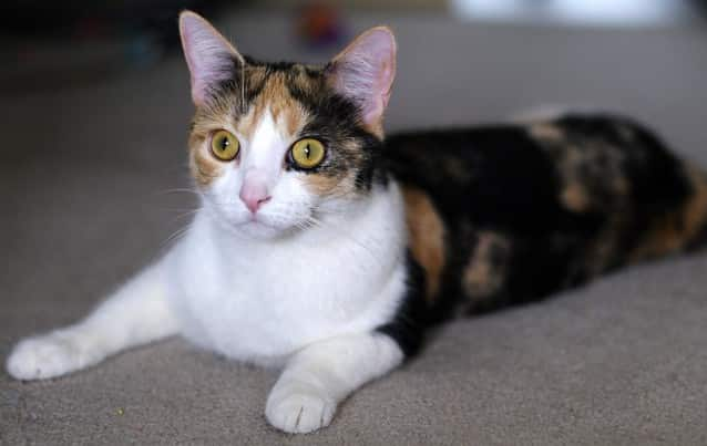 Calico cat with yellow eyes laying on carpeted floor.