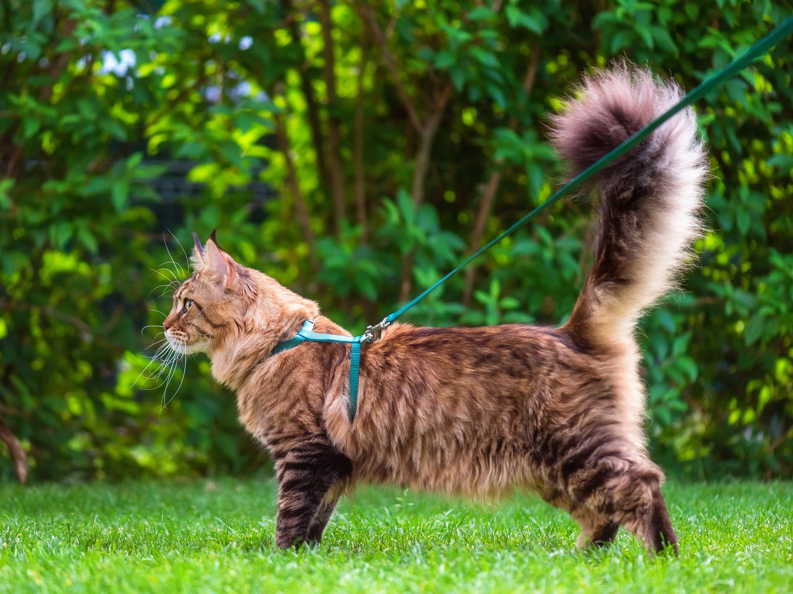 Maine Coon cat on a harness and leash outdoors in the grass.