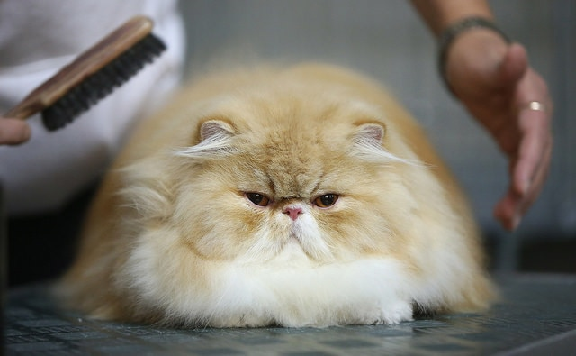 Large, fluffy tan and white Persian cat on table getting brushed by groomer.