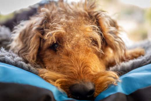 Airedale terrier close-up lying down, staring straight ahead.
