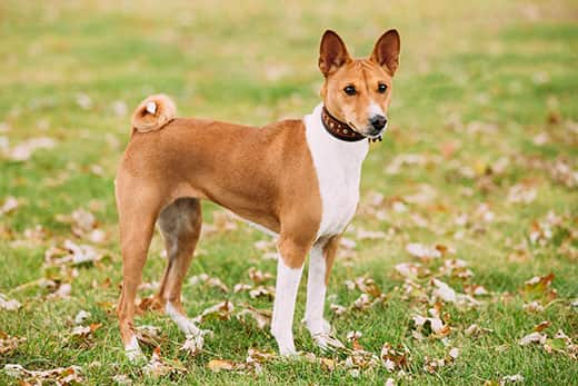 Basenji dog standing outside in a park.