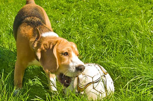Beagle chewing on a soccer ball in the grass.