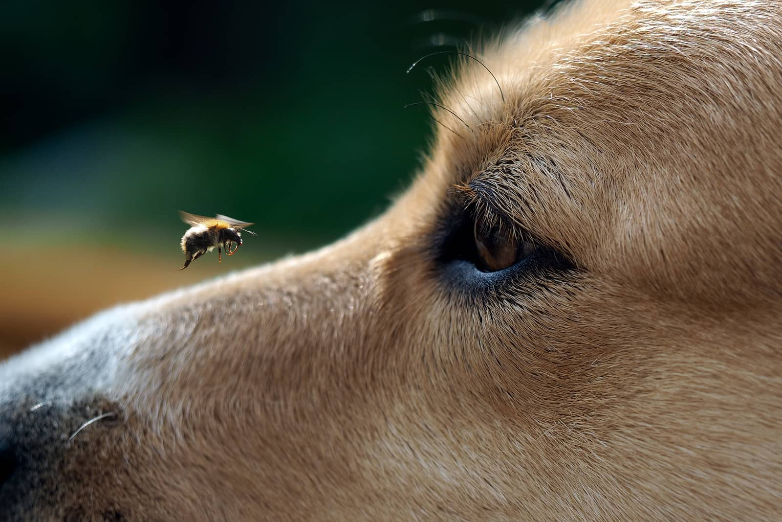 Closeup of a dog watching a bee land on his nose