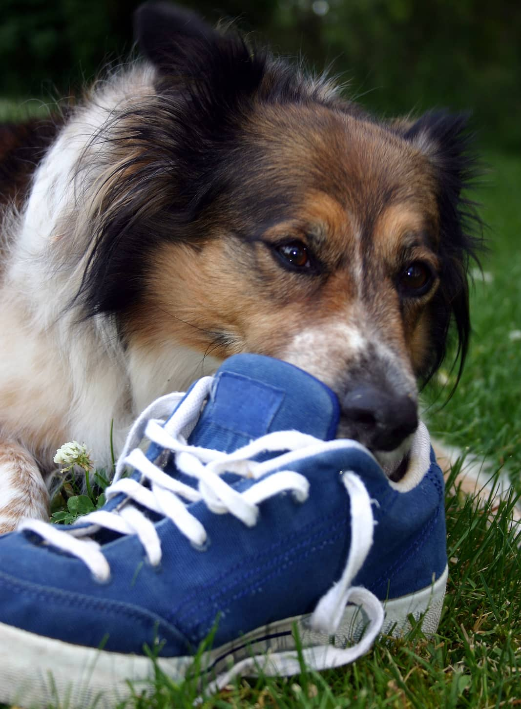 Border collie chewing on a blue sneaker