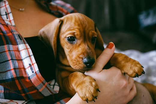 8 weeks old smooth hair brown dachshund puppy resting in the hands of its female owner in a colourful plaid shirt.
