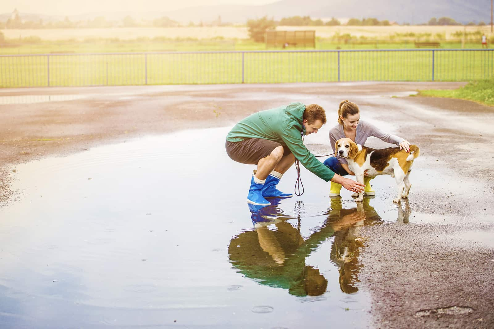Young couple in colorful rainboots walk beagle dog in rain.