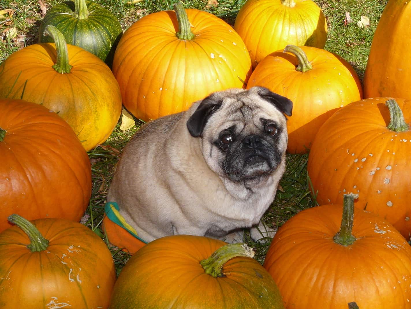 Pug Dog In The Middle Of A Group Of Pumpkins