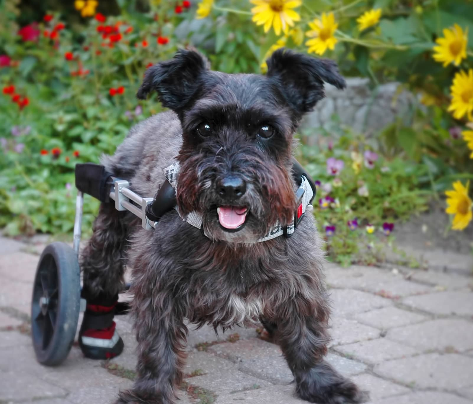 Gray Schnauzer using a dog wheelchair outdoors.