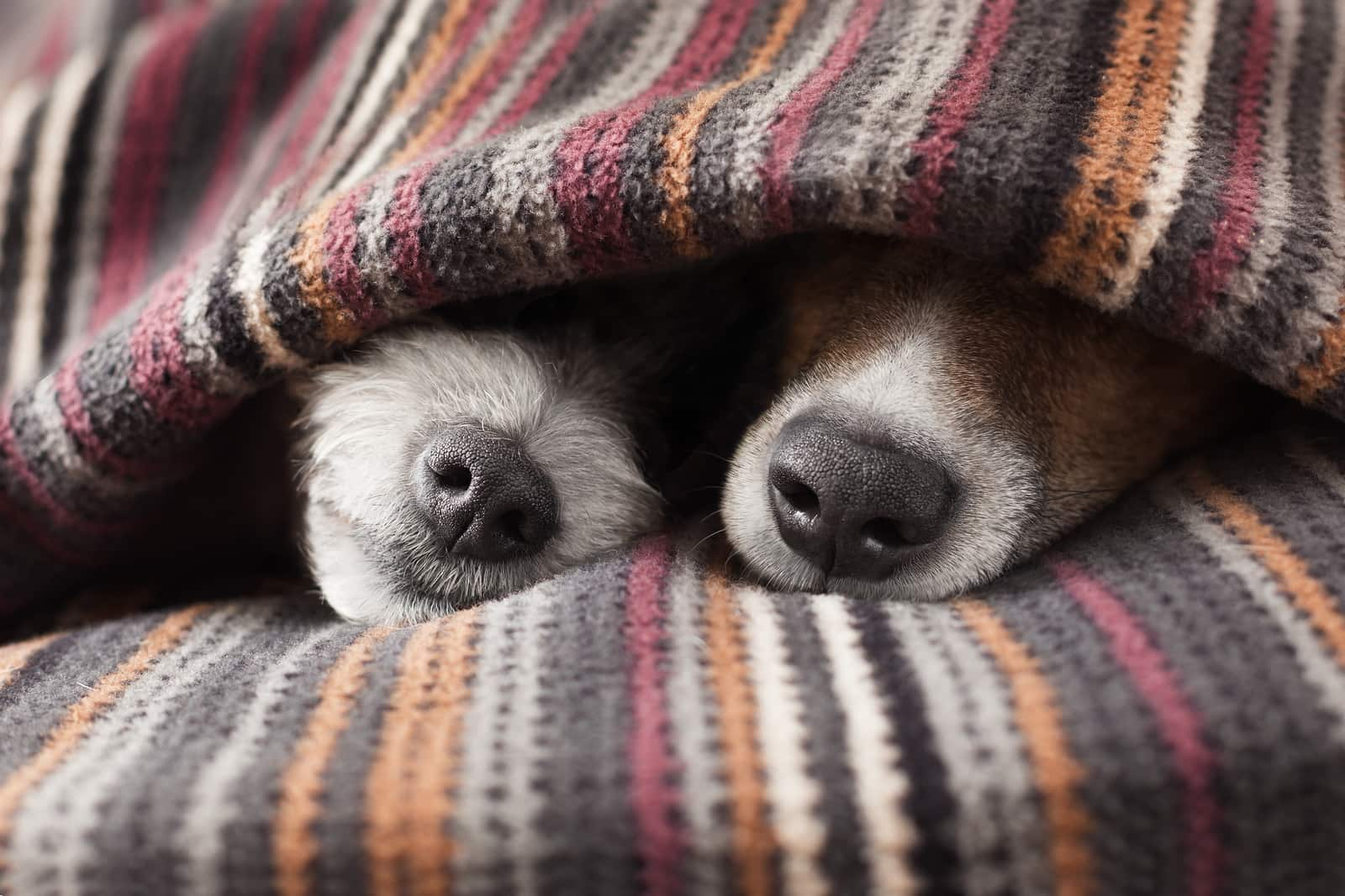 Two dog noses poking out from under a blanket