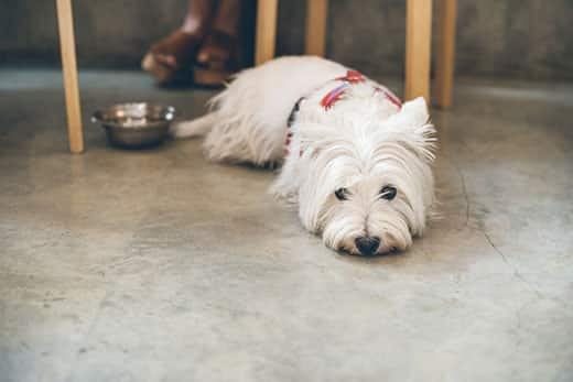 West Highland White Terrier laying on a concrete floor.