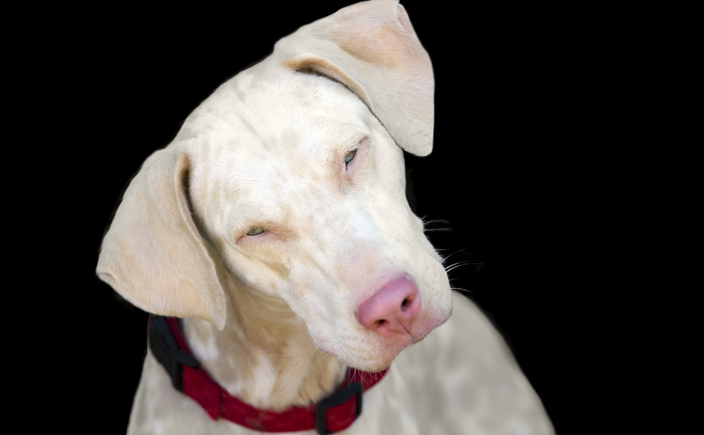 Albino dog with pink nose and tilted head.
