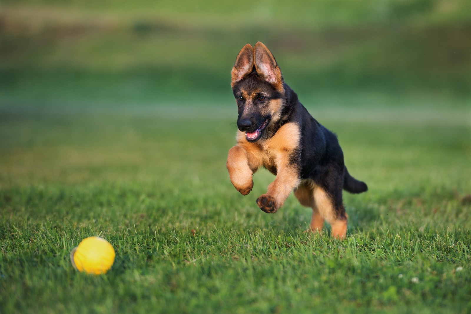German shepherd puppy playing with a ball outdoors