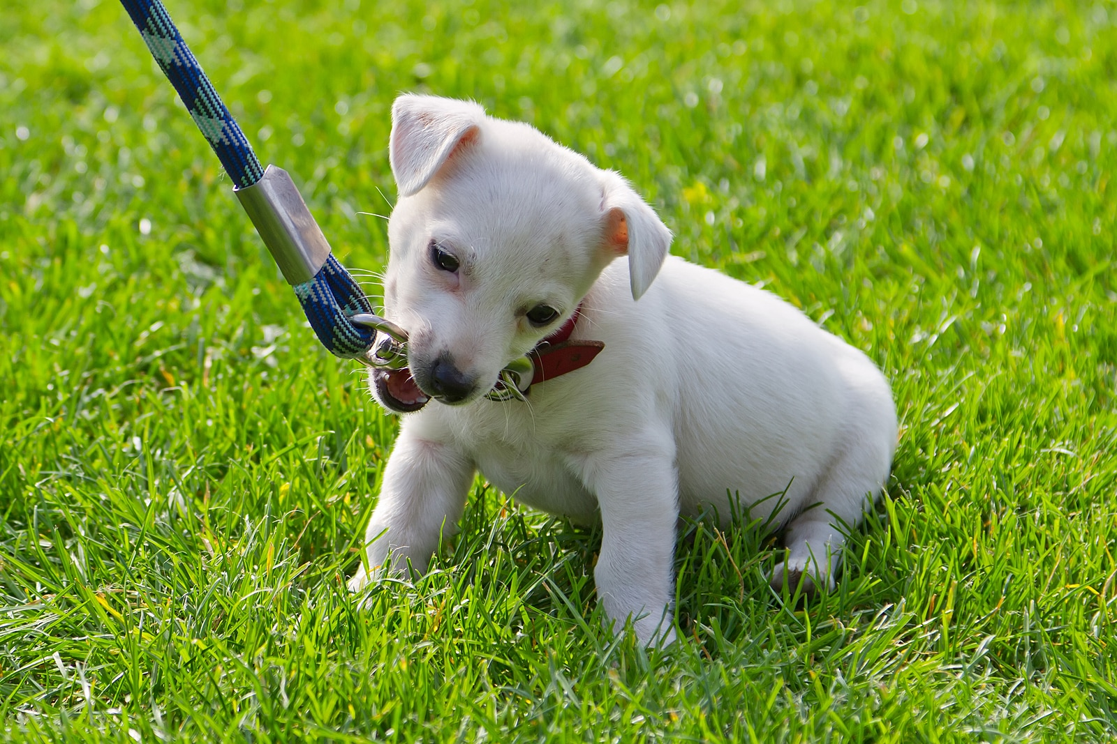 Little white puppy chews on a leash while sitting in the grass.