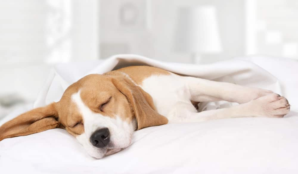 Beagle puppy sleeping on bed with white sheets.