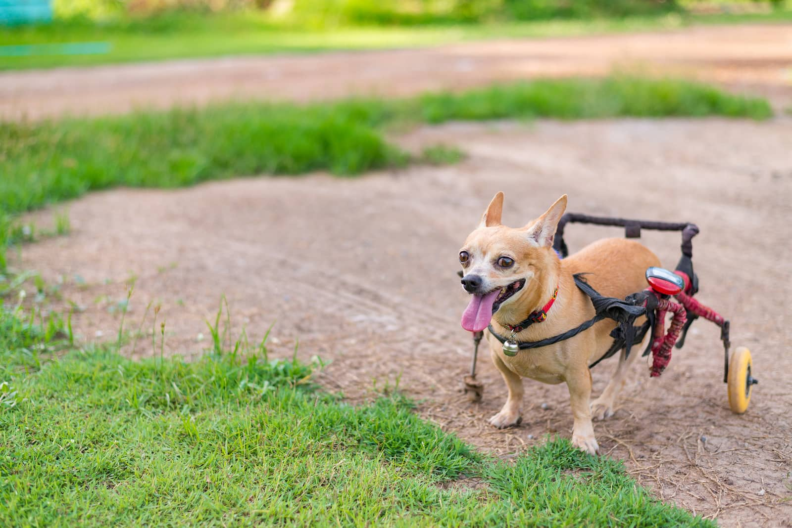 Chihuahua with dog wheelchair running in the grass.