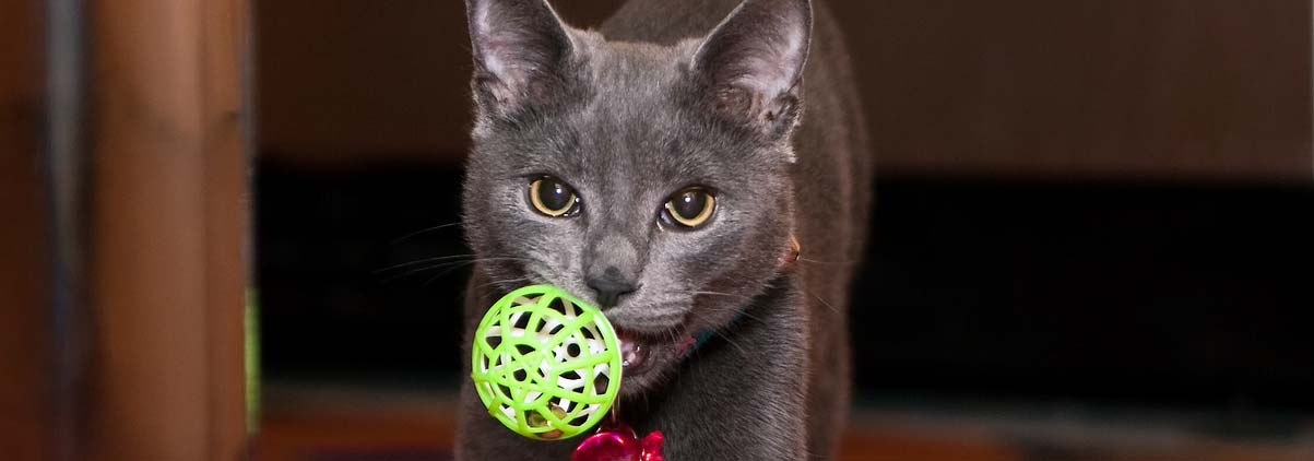 Domestic Cat Carrying A Ball As Though He Were A Dog